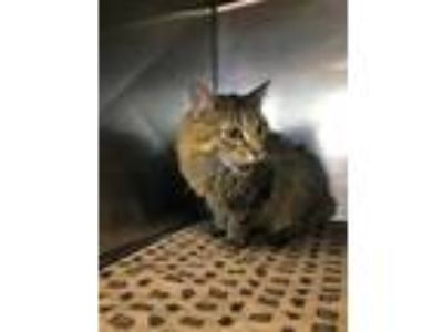 Adopt Jane a Brown or Chocolate Domestic Longhair / Domestic Shorthair / Mixed