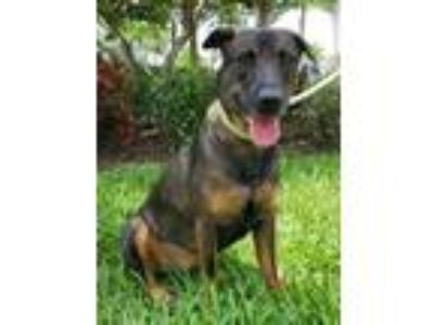 Adopt Minnie a Labrador Retriever, German Shepherd Dog