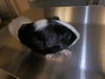 Adopt Plankton a Black Guinea Pig / Mixed small animal in Honolulu