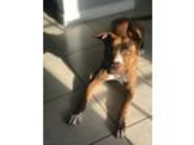 Adopt Ginger a Pit Bull Terrier
