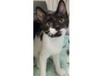 Adopt Meadow a Black & White or Tuxedo Domestic Shorthair (short coat) cat in
