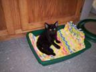 Adopt BLACK KITTENS!!-male/female a Domestic Short Hair
