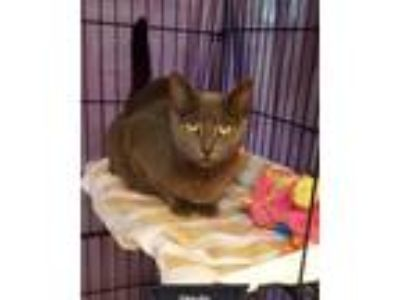 Adopt Ursula a Gray, Blue or Silver Tabby Russian Blue (short coat) cat in Key