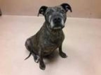 Adopt Rosie a Black American Pit Bull Terrier / Mixed dog in Reno, NV (25275418)