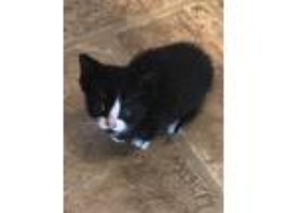 Adopt Duke a Black & White or Tuxedo Domestic Shorthair (short coat) cat in Toms