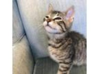 Adopt Shere Khan a Brown or Chocolate American Shorthair cat in Woodstock