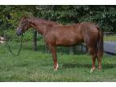 4 yr old Mustang mare
