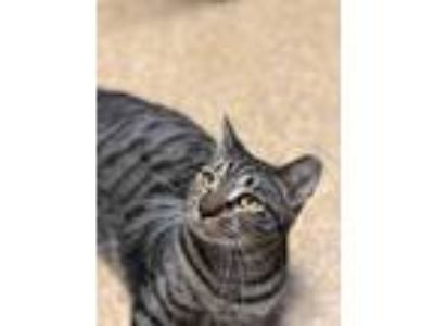 Adopt Farfell a Brown Tabby American Shorthair (short coat) cat in Fort