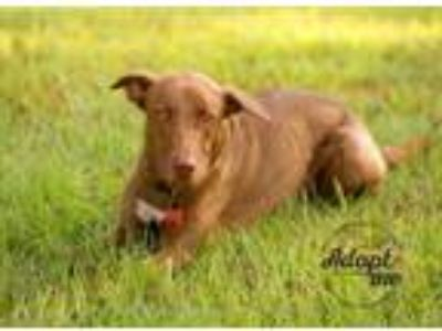 Adopt Dakota a Brown/Chocolate - with White Labrador Retriever / Labrador