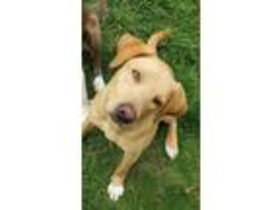 Adopt Scully a Golden Retriever, Labrador Retriever