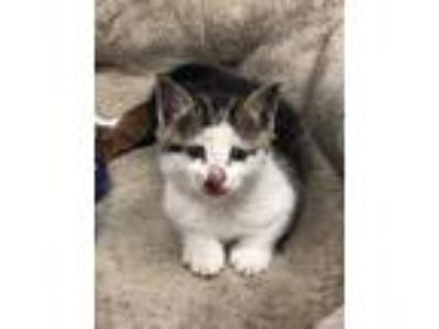 Adopt Major a White Domestic Shorthair / Mixed cat in Independence
