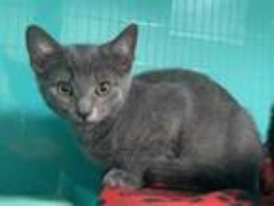 Adopt a Gray or Blue Domestic Shorthair / Mixed (short coat) cat in Hesperia