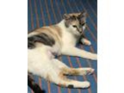 Adopt Sunshine a Domestic Short Hair