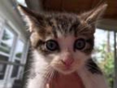 Adopt Chip a Brown Tabby Domestic Shorthair / Mixed (short coat) cat in