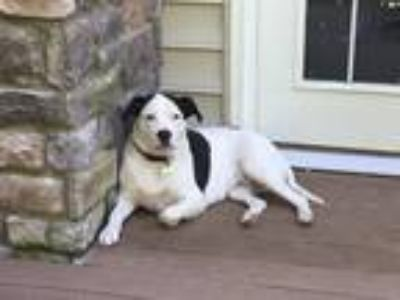 Adopt Maggie a Black - with White American Pit Bull Terrier / Mixed dog in