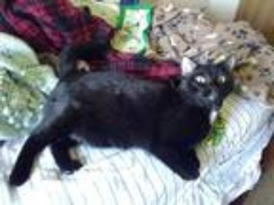 Adopt Danny a Black (Mostly) American Shorthair / Mixed cat in Augusta