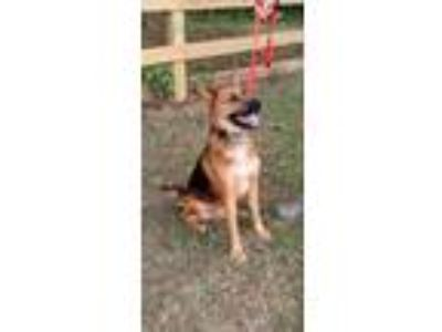 Adopt Kelvin Red a German Shepherd Dog