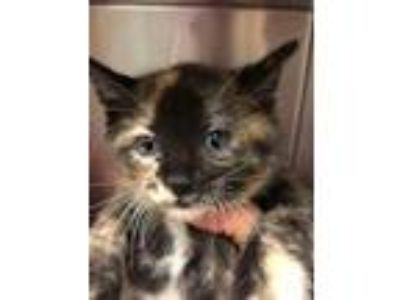 Adopt Stacy a Domestic Shorthair / Mixed (short coat) cat in Logan