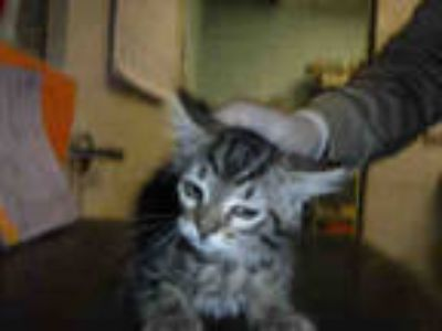 Adopt *GINGER a Brown Tabby Domestic Shorthair / Mixed (short coat) cat in Long