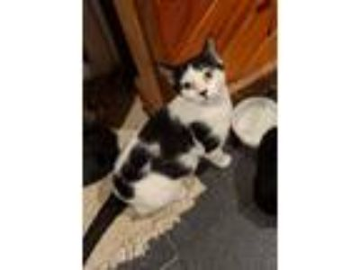 Adopt Molly a Black & White or Tuxedo Domestic Shorthair (short coat) cat in