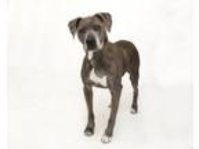 Adopt SHADOW a Pit Bull Terrier, Mixed Breed