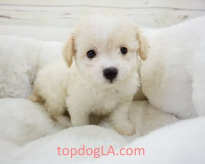 Maltipoo Puppy - Female – Nala ($1,299)