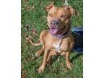Adopt AMBER a LOVEBUG ! a Pit Bull Terrier
