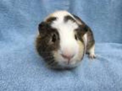 Adopt Coeur(Bonded to Triumph and Eiffel) a Guinea Pig