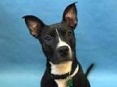 Adopt Athena a Black American Pit Bull Terrier / Mixed dog in Golden Valley