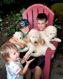 Goldendoodle PUPPY FOR SALE ADN-87248 - GOLDENDOODLES READY