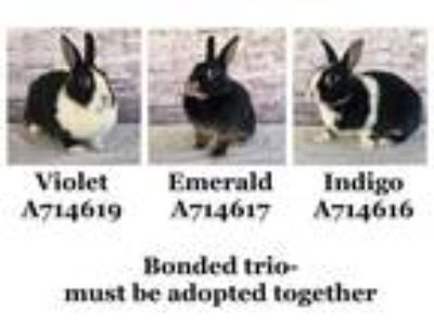 Adopt WALLACE a Black Other/Unknown / Mixed rabbit in Camarillo, CA (25847846)
