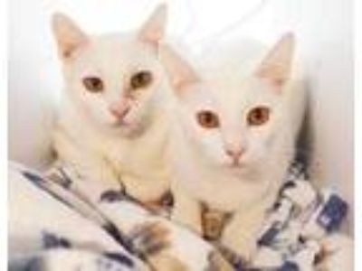 Adopt Missy a White Domestic Shorthair / Domestic Shorthair / Mixed cat in