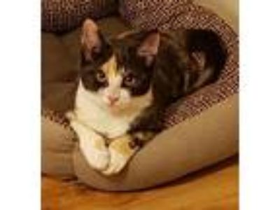 "Adopt Pecan "" Calico Squeaky Kitten "" a Calico, Domestic Short Hair"