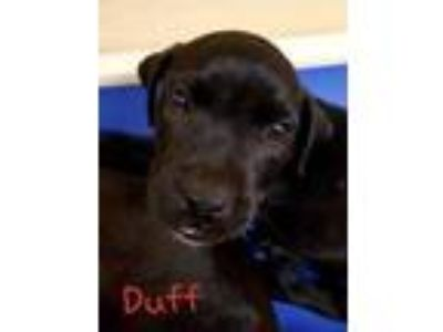 Adopt Duff a Black Labrador Retriever / Mixed dog in Dahlonega, GA (25353988)