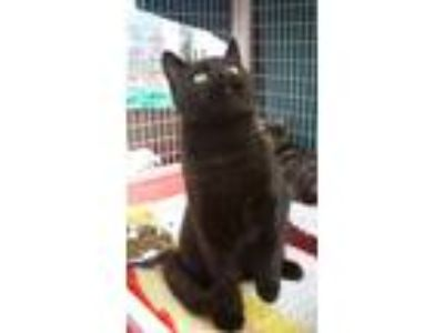 Adopt Nero a Domestic Short Hair