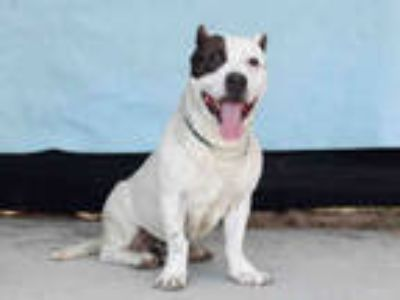 Adopt HAMLIN a White - with Black American Pit Bull Terrier / Mixed dog in