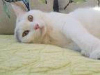Adopt Katsa (Affectionate) a White (Mostly) Turkish Van (short coat) cat in