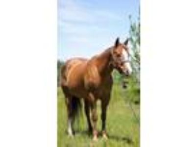 APHA Mare in Foal to Jet Streakin