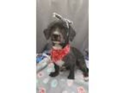 Adopt Martini a Black Mixed Breed (Small) / Mixed dog in Wellsville