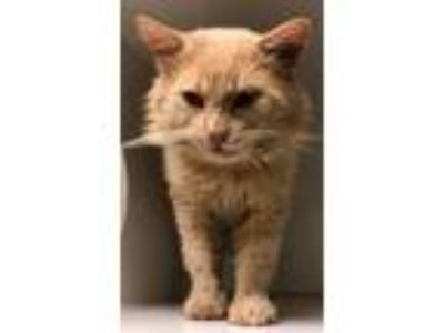 Adopt Tommy (rocky hollow) a Domestic Short Hair