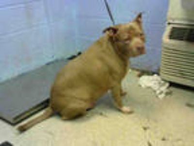 Adopt HOG a Brown/Chocolate - with White American Pit Bull Terrier / Mixed dog