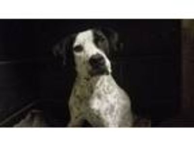 Adopt Daisy a Black - with White German Shorthaired Pointer / Mixed Breed