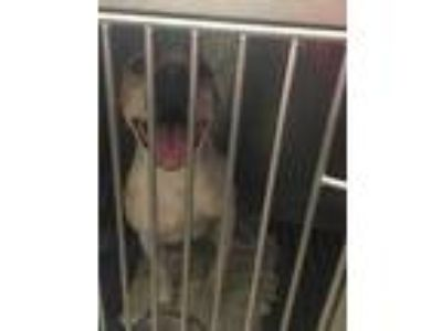 Adopt Motor a White Terrier (Unknown Type, Small) / Mixed dog in Anderson
