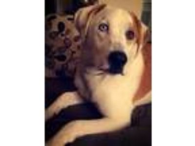 Adopt Burtte a Catahoula Leopard Dog, Great Pyrenees
