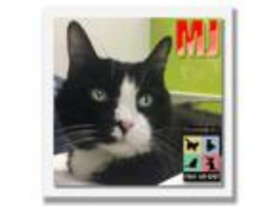 Adopt MJ a Black & White or Tuxedo Domestic Shorthair / Mixed (short coat) cat