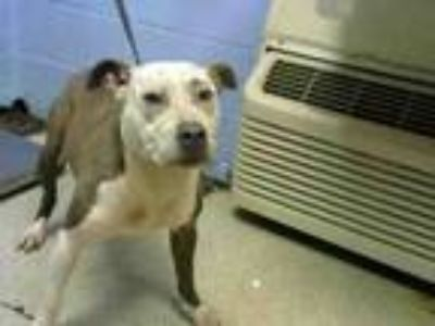 Adopt LEILANI a Pit Bull Terrier, Mixed Breed