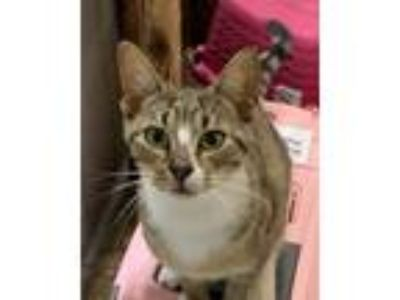 Adopt Edwin a Brown Tabby Domestic Shorthair (short coat) cat in Medford