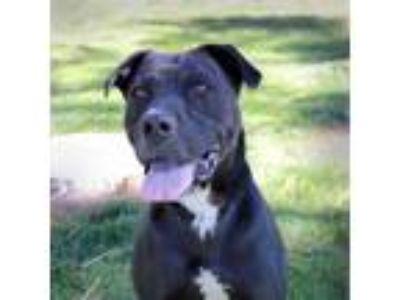 Adopt Kova a Staffordshire Bull Terrier, Labrador Retriever