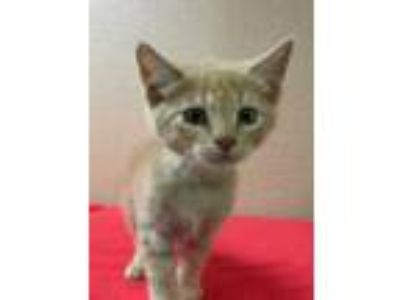 Adopt Andy a Orange or Red Domestic Shorthair / Domestic Shorthair / Mixed cat