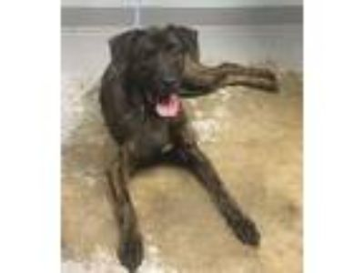 Adopt Bruno a Plott Hound, Mixed Breed